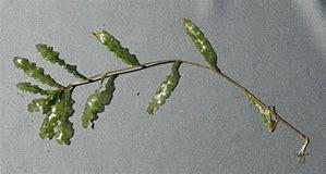 curly leaf pondweed 3
